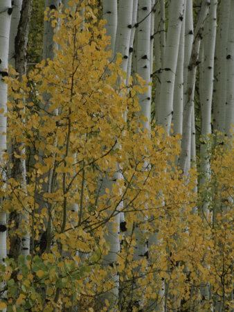 A Close View of Quaking Aspen Trees Growing Along the Kebler Pass in Colorados Elk Mountains