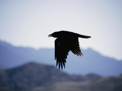 A Common Raven is Silhouetted against the Sky