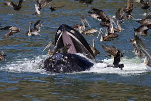 A Feeding Humpback Whale, Megaptera Novaengliae, Surfaces Among Brown Pelicans by Marc Moritsch