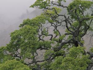 A Gnarled Oak Tree Stands in the Mist by Marc Moritsch