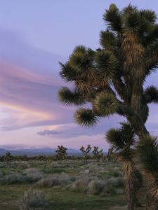 A Joshua Tree against the Twilight Sky by Marc Moritsch