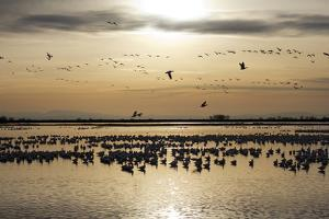 A Large Flock of Silhouetted Ross's Geese at Rest and in Flight, at Twilight by Marc Moritsch