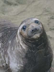 A Portrait of a Female Elephant Seal by Marc Moritsch