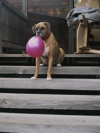 A Tough Looking Bulldog Delicately Holds a Balloon in Morro Bay