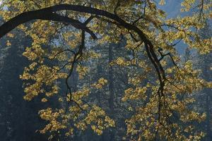 Autumn Foliage Decorates a Tree in Yosemite by Marc Moritsch