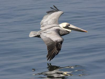 Brown Pelican in Flight, Low over Water