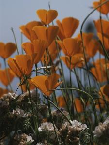 California Poppies by Marc Moritsch