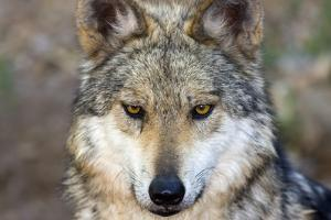 Close Up Portrait of a Captive Mexican Gray Wolf, Canis Lupus Baileyi by Marc Moritsch