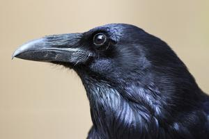 Close Up Portrait of a Common Raven, Corvus Corax by Marc Moritsch