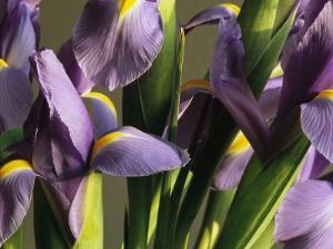 Close View of a Cluster of Domesticated Irises by Marc Moritsch