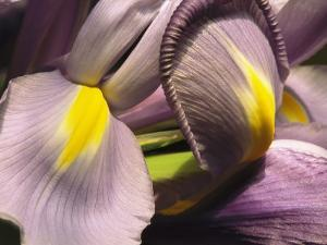 Close View of a Domesticated Iris by Marc Moritsch