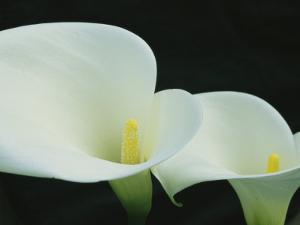 Close View of a Pair of Calla Lilies by Marc Moritsch