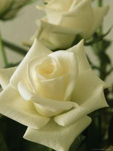 Close View of a Perfect White Rose by Marc Moritsch