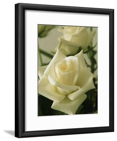 Close View of a Perfect White Rose