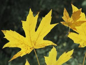 Close View of Big Leaf Maple Leaves in Autumn Color by Marc Moritsch