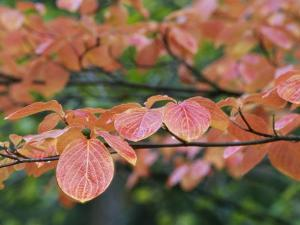 Close View of Pacific Dogwood Tree Leaves in the Fall by Marc Moritsch