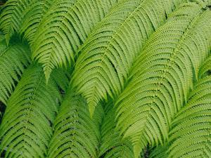 Close View of Tree Ferns or Hapuu-Pulu by Marc Moritsch