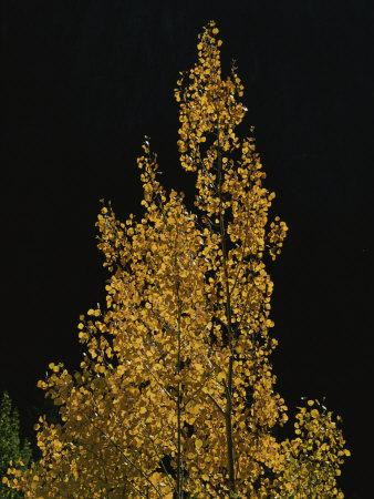 Fall Foliage Decorates a Quaking Aspen Tree Near Ouray