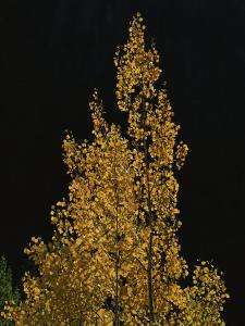 Fall Foliage Decorates a Quaking Aspen Tree Near Ouray by Marc Moritsch