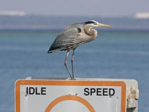 Great Blue Heron Standing on a Boating Sign by Marc Moritsch