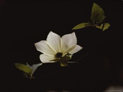 Pacific Dogwood Blossom