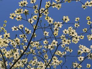Pacific Dogwood Blossoms in a Lacy Pattern against a Blue Sky by Marc Moritsch