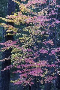 Pacific Dogwood Trees in Autumn Hues in Yosemite National Park by Marc Moritsch