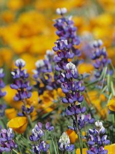 Poppies and Lupine Flowers in a Santa Barbara Field by Marc Moritsch