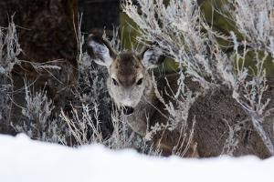 Portrait of a Mule Deer, Odocoileus Hemionus, in a Snowy Landscape by Marc Moritsch