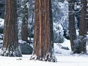 Redwood Trees Dusted with Snow in Yosemite National Park by Marc Moritsch