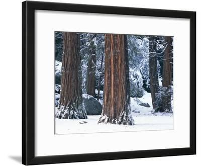 Redwood Trees Dusted with Snow in Yosemite National Park