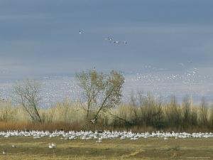 Snow Geese in Flight and Resting on the Ground by Marc Moritsch