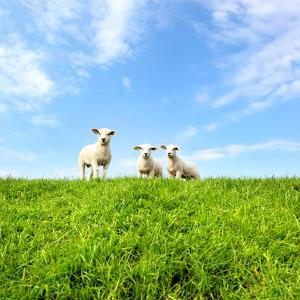Spring Lambs by MarcelTB