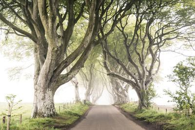 The Dark Hedges (Bregagh Road), Ballymoney, County Antrim, Ulster region, northern Ireland, United