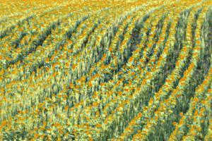 Abstract Sunflowers by Marco Carmassi