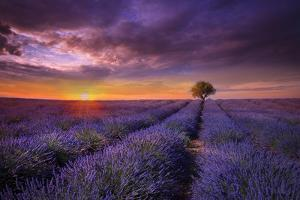 Lavender at Sunset by Marco Carmassi