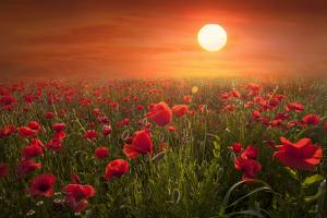 Poppies by Marco Carmassi