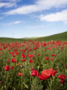 Poppy Field by Marco Carmassi