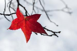 Red Leaf by Marco Carmassi