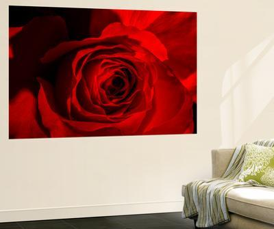 Red Rose by Marco Carmassi