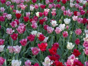 Tulip Riot II by Marco Carmassi