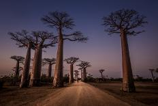 Allace des Baobabs-Marco Tagliarino-Photographic Print