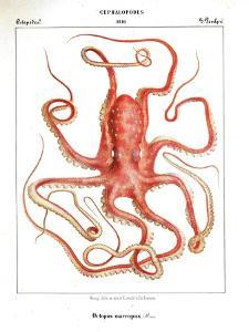 Octopus Etching by Marcus Jules