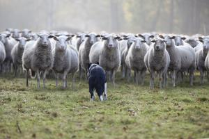 Flock of Sheep and Dog by MarcusRudolph.nl