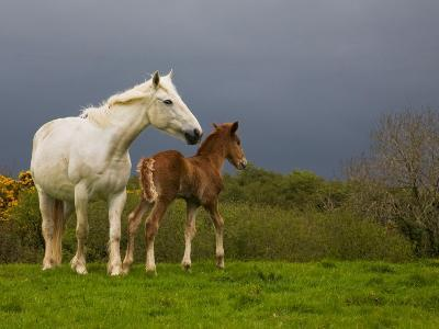 Mare and Foal, Co Derry, Ireland--Photographic Print