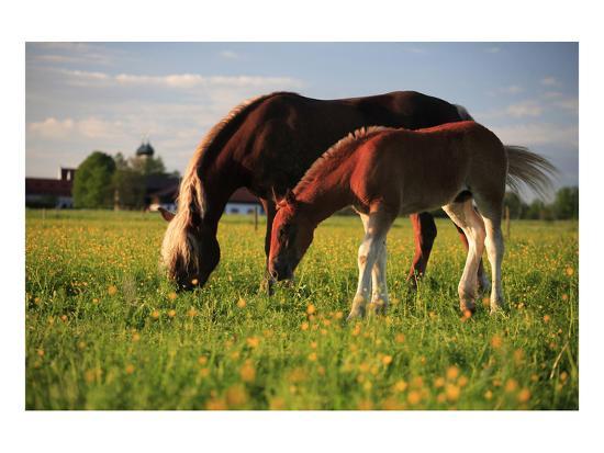 Mare and foal in the Kochelmoos near Benediktbeuern, Upper Bavaria, Bavaria, Germany--Art Print