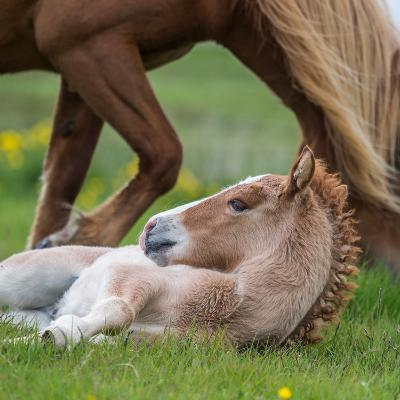 Mare and New Born Foal, Iceland--Photographic Print