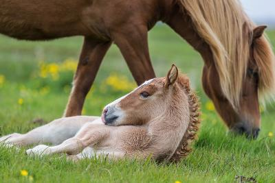 Mare and New Born Foal, Iceland-Arctic-Images-Photographic Print
