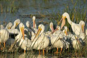 A Congregation of White Pelicans, Viera Wetlands, Florida by Maresa Pryor