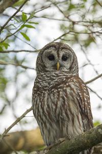 Adult Barred Owl, Strix Varia, in an Oak Tree Hammock, Florida by Maresa Pryor